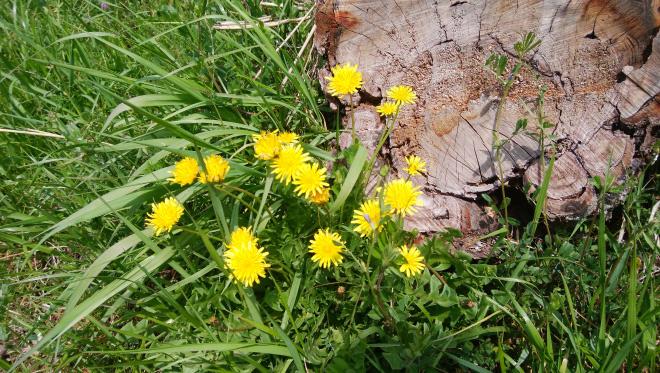 香寺町 花のつどい タンポポの写真