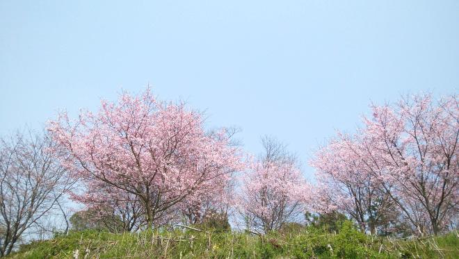 香寺町 花のつどい 桜の写真